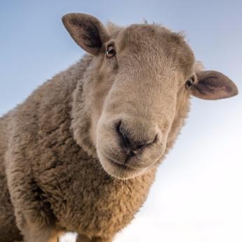 lamb grateful