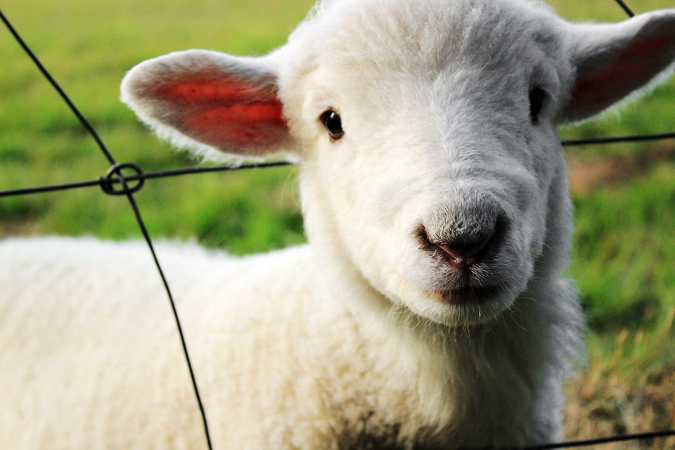 lamb in safe boundary