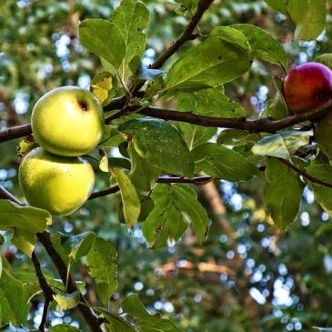treefruitpic